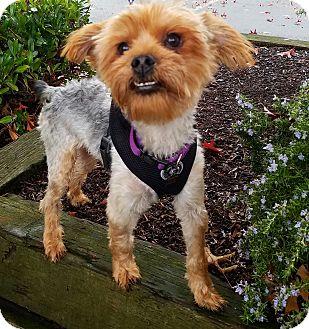 "Yorkie, Yorkshire Terrier Mix Dog for adoption in Seattle, Washington - ""Garret"""