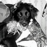 Adopt A Pet :: Diesel - Chandler, AZ