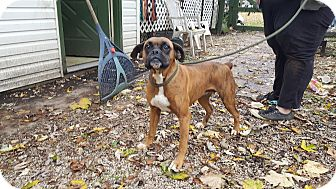 Boxer Dog for adoption in Antioch, Illinois - Harriet