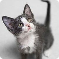 Domestic Shorthair Kitten for adoption in Parma, Ohio - Kyrie