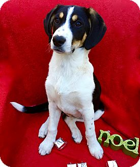 Greater Swiss Mountain Dog/Foxhound Mix Puppy for adoption in Irvine, California - Noel