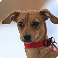 Adopt A Pet :: Shorty - Ile-Perrot, QC