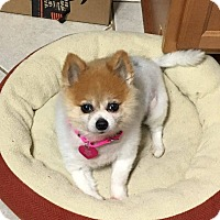 Pomeranian Mix Dog for adoption in Troy, Michigan - Lilly
