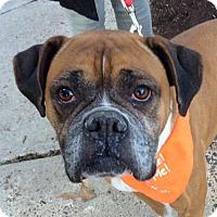 Adopt A Pet :: Starr *Adopt or Foster* - Fairfax, VA