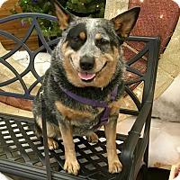 Adopt A Pet :: Katie - Anaheim, CA