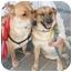 Photo 2 - Golden Retriever/Shepherd (Unknown Type) Mix Dog for adoption in Richmond, Virginia - Sandy