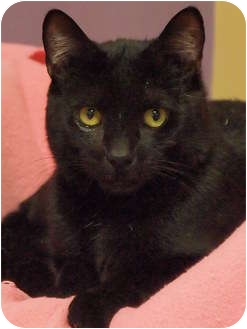 Domestic Shorthair Cat for adoption in Ocean City, New Jersey - Moose