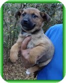 Feist/Shepherd (Unknown Type) Mix Puppy for adoption in Allentown, Pennsylvania - Posey