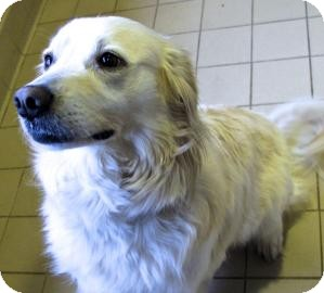 American Eskimo Dog Mix Dog for adoption in Jackson, Michigan - Scout