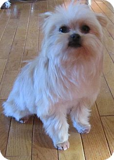 Yorkie, Yorkshire Terrier/Pomeranian Mix Dog for adoption in Commerce, Georgia - Princess