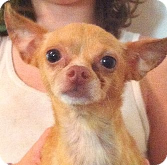 Chihuahua Dog for adoption in Orlando, Florida - Stanley