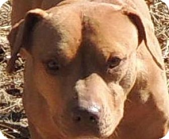 Pit Bull Terrier Mix Dog for adoption in House Springs, Missouri - Maggie
