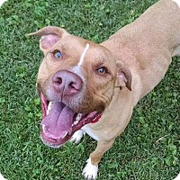 Pit Bull Terrier Mix Dog for adoption in Elkhorn, Wisconsin - Brodie