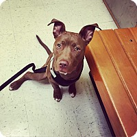 Adopt A Pet :: Bella - Parker, CO