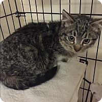 Adopt A Pet :: Amanda - Forest Hills, NY