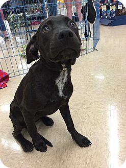 Labrador Retriever Mix Dog for adoption in Beaumont, Texas - MIA