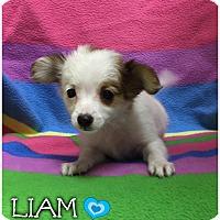 Adopt A Pet :: Liam - Windham, NH