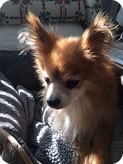 Pomeranian Dog for adoption in Wilmington, Delaware - Ollie