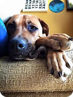 Boxer/Shepherd (Unknown Type) Mix Dog for adoption in Lexington, Kentucky - Lady