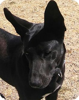Shepherd (Unknown Type)/Labrador Retriever Mix Dog for adoption in Santa Rosa, California - Mora