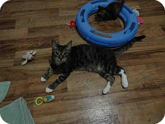 Domestic Mediumhair Cat for adoption in Lathrop, California - KONA