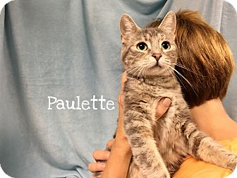 Domestic Shorthair Cat for adoption in Foothill Ranch, California - Paulette