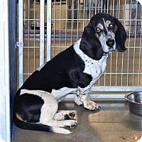 Adopt A Pet :: Halo - San Jacinto, CA