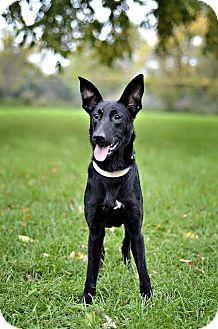 Labrador Retriever/German Shepherd Dog Mix Dog for adoption in Midland, Michigan - Marilou