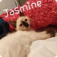 Siamese Cat for adoption in Walnut Creek, California - Jasmine