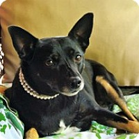 Rat Terrier/Manchester Terrier Mix Dog for adoption in Brasstown, North Carolina - Shelly