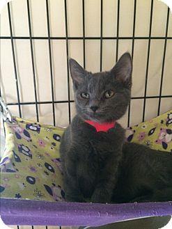 Domestic Shorthair Cat for adoption in Lunenburg, Massachusetts - Tressa