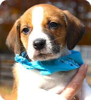 Beagle/Hound (Unknown Type) Mix Puppy for adoption in West Grove, Pennsylvania - Dallas