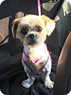 Shih Tzu Dog for adoption in Redondo Beach, California - Mimi is very sweet!