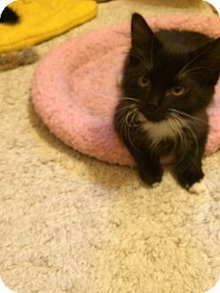 Domestic Shorthair Kitten for adoption in Overland Park, Kansas - Pippa