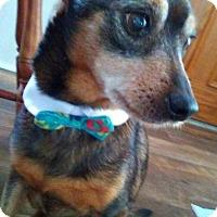 Adopt A Pet :: BoBo - Andalusia, PA