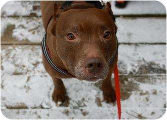 American Pit Bull Terrier Mix Dog for adoption in Staatsburg, New York - Precious