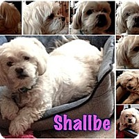 Coton de Tulear Dog for adoption in East Hanover, New Jersey - Shallbe