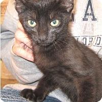 Domestic Shorthair Kitten for adoption in Schertz, Texas - Snuggle Boy