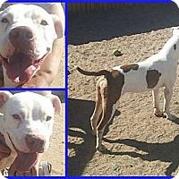 Adopt A Pet :: Porter - Scottsdale, AZ