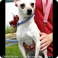 Adopt A Pet :: Chicki Wa Wa - Richmond, VA