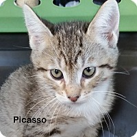 Adopt A Pet :: Picasso - Portland, OR