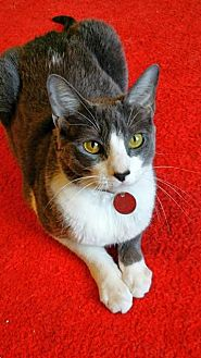 Domestic Shorthair Cat for adoption in Edmond, Oklahoma - Scamp