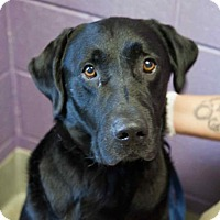 Adopt A Pet :: Gustav - Chester Springs, PA