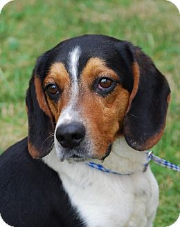 Beagle Mix Dog for adoption in Coeburn, Virginia - Jake