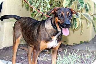 Labrador Retriever/Shepherd (Unknown Type) Mix Dog for adoption in Los Angeles, California - Chaco - from Costa Rica