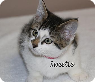 Domestic Shorthair Kitten for adoption in Idaho Falls, Idaho - Sweetie
