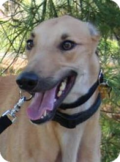Greyhound Dog for adoption in Nashville, Tennessee - Timmy