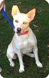 Labrador Retriever Mix Dog for adoption in Harrison, New York - Fanny