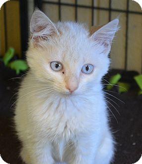 Siamese Kitten for adoption in Winchester, Kentucky - Sasha