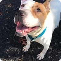 American Staffordshire Terrier Mix Dog for adoption in Brooklyn, New York - Brenda